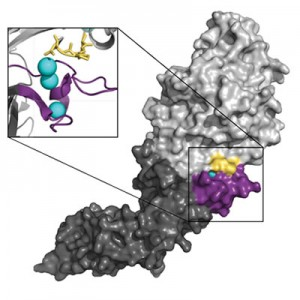 The PAD4 enzyme is composed of two pieces (light gray and dark gray) that are connected in the middle. This  connection point between the two halves is important for binding to calcium which is required for the enzyme to function (blue spheres) and for interacting with proteins that will be modified by the PAD4 enzyme. The newly discovered PAD4-activating antibody seems to bind in this region (shown in yellow and purple) and substitutes for some of the calcium that is usually required to modify proteins. This allows the enzyme to work with the small amounts of calcium normally present in the body.