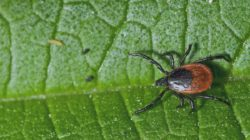 Incidence of Lyme Disease Diagnosis in a Maryland Medicaid Population